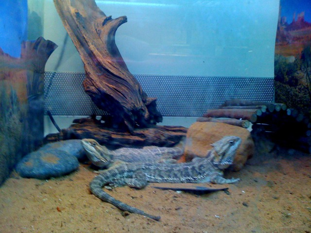 Feb 20. Pretty Bearded dragon